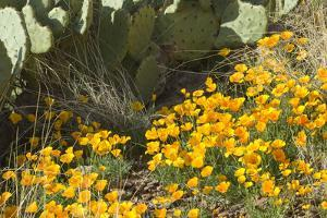 Mexican Poppies, Prickly-Pear and Other Chihuahuan Desert Plants in Rockhound State Park, NM