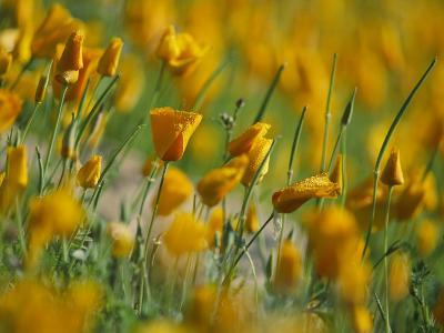Mexican Poppies-Annie Griffiths-Photographic Print