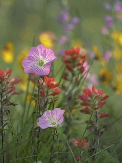 Mexican Primrose and Paintbrushes, Texas, Usa-Tim Fitzharris-Photographic Print