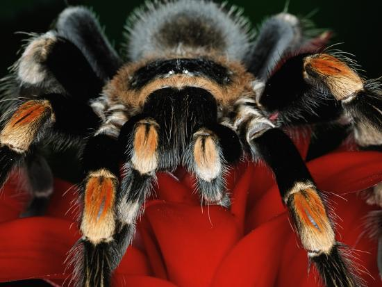 Mexican Red-Kneed Tarantula, Mexico-Adam Jones-Photographic Print
