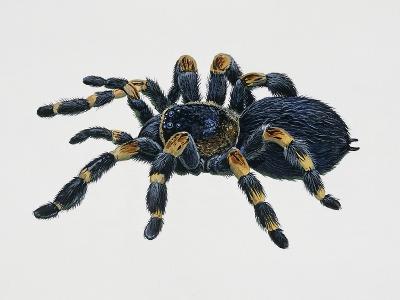 Mexican Redkneed Tarantula (Euathlus Smithi or Brachypelma Smithi)--Giclee Print