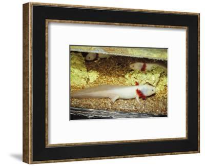 Mexican salamander (Ambystoma mexicanum) larva or Axolotl, 20th century-CM Dixon-Framed Photographic Print