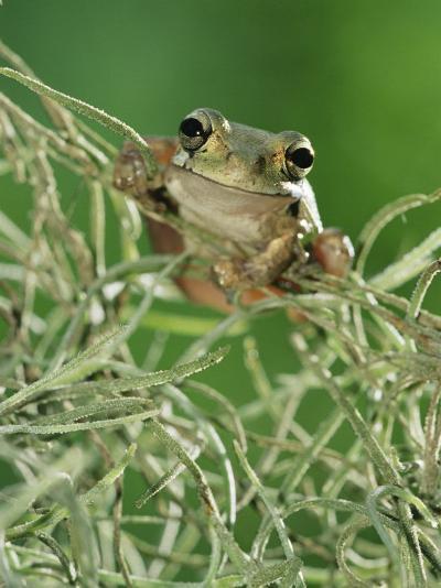 Mexican Treefrog, on Spanish Moss, Texas, USA-Rolf Nussbaumer-Photographic Print