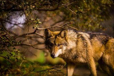 Mexican Wolf, Julien, California, United States of America, North America-Laura Grier-Photographic Print