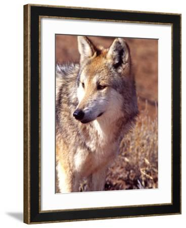 Mexican Wolf, Native to Mexico-David Northcott-Framed Photographic Print