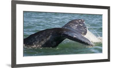 Mexico, Baja California, Gray Whale Flukes Exposed, Diving in the San Ignacio Lagoon, Sea of Cortez-Judith Zimmerman-Framed Premium Photographic Print