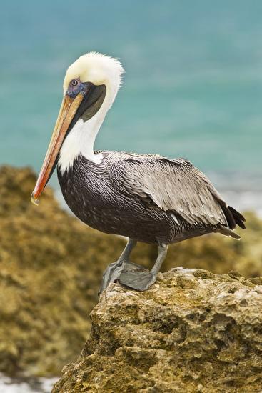 Mexico, Caribbean. Pelecanus Occidentalis, Male Brown Pelican-David Slater-Photographic Print