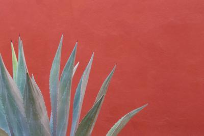 Mexico, San Miguel De Allende. Agave Plant Next to Colorful Wall-Jaynes Gallery-Photographic Print