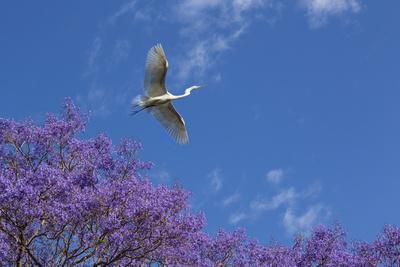 https://imgc.artprintimages.com/img/print/mexico-san-miguel-de-allende-great-egret-flying-over-jacaranda-tree_u-l-pqf5mx0.jpg?p=0
