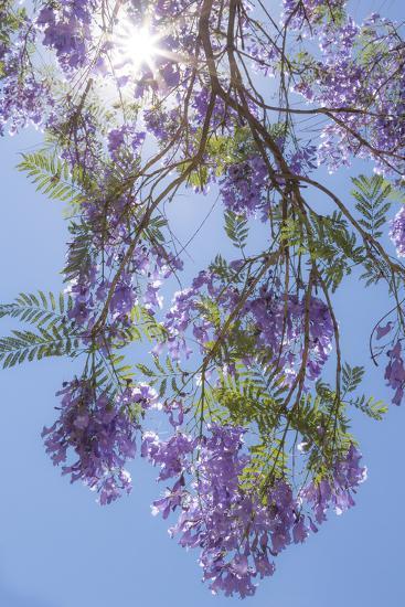 Mexico, San Miguel De Allende. Sunburst Through Jacaranda Tree-Jaynes Gallery-Photographic Print