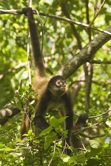 Mexico, Yucatan. Spider Monkey, Adult Climbing Tree-David Slater-Photographic Print