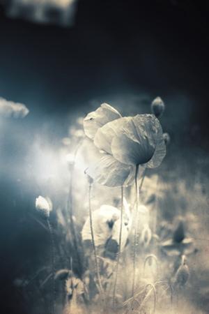 Close Up of Poppy by Mia Friedrich