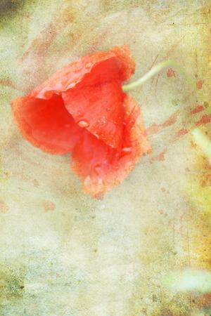 Poppy in the Rain II by Mia Friedrich