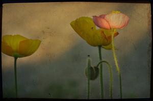 Study of Poppies by Mia Friedrich