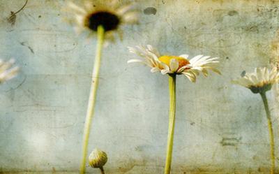 Study of White Daisies by Mia Friedrich