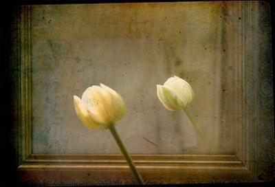 White Tulip against Framed Mirror by Mia Friedrich
