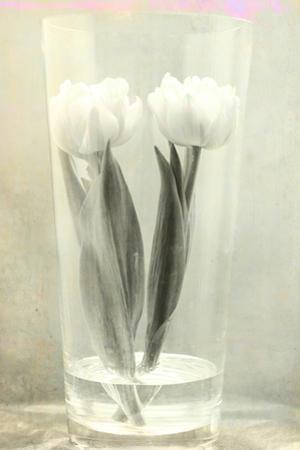 White Tulips by Mia Friedrich