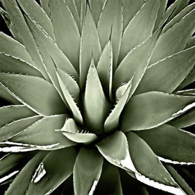 Green Succulent III