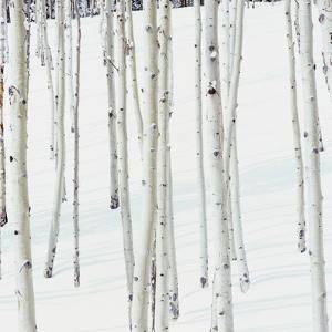 Aspen Trees in Snow by Micha Pawlitzki