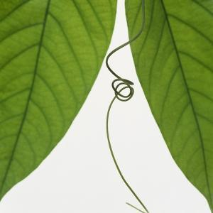 Curly vine and green leaves by Micha Pawlitzki