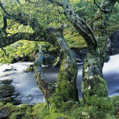Old Tree Growing over Stream