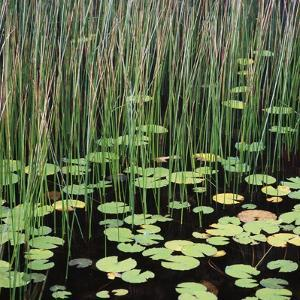 Reed and Water Lillies in Pond, Arcadia National Park, Maine by Micha Pawlitzki