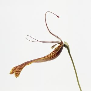 Striped orchid by Micha Pawlitzki