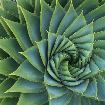 Succulent with Spiked Leaves