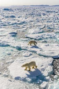 Adult Polar Bears (Ursus Maritimus) by Michael