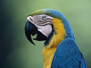 Blue and Yellow Macaw (Ara Ararauna) Rainforest, Peru by Michael and Patricia Fogden/Minden Pictures