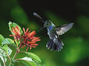 Blue-Chested Hummingbird (Amazilia Amabilis) and Flowers (Hamelia Sp), Rainforests of Costa Rica by Michael and Patricia Fogden/Minden Pictures