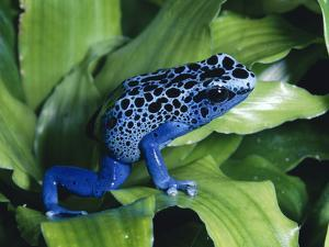 Blue Poison Dart Frog (Dendrobates Azureus) Used to Poison Tips of Arrows, Native to South America by Michael and Patricia Fogden/Minden Pictures