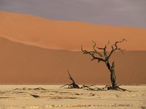 Camelthorn Acacia (Acacia Erioloba) Trees, Sossus Vlei, Namib-Naukluft Nat'l Park, Namibia by Michael and Patricia Fogden/Minden Pictures
