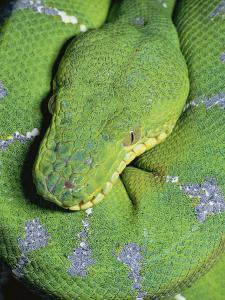 Emerald Tree Boa (Corallus Caninus) Portrait in Rainforest, South America by Michael and Patricia Fogden/Minden Pictures