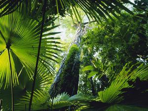 Giant Strangler Fig (Ficus Aurea), Woka Palms (Livistona Rotundifolia), Tangkoko Batuangus Reserve by Michael and Patricia Fogden/Minden Pictures