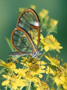 Glasswing Butterfly (Pteronymia Sp) of the Family Ithomiinae, Asteraceae, Cloud Forest, Costa Rica by Michael and Patricia Fogden/Minden Pictures