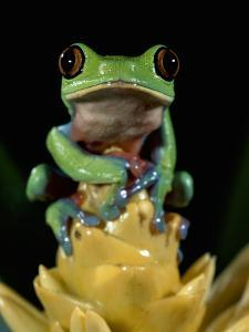 Golden-Eyed Leaf Frog (Agalychnis Annae) Perched on Bromeliad, Cloud Forest, Costa Rica by Michael and Patricia Fogden/Minden Pictures