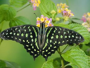Green-Spotted Swallowtail (Graphium Tynderaeus) Butterfly, Tangkoko Batuangus Reserve, Indonesia by Michael and Patricia Fogden/Minden Pictures