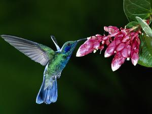 Green Violet-Ear (Colibri Thalassinus) Hummingbird and Flowers (CavendishiaComplectens), Costa Rica by Michael and Patricia Fogden/Minden Pictures