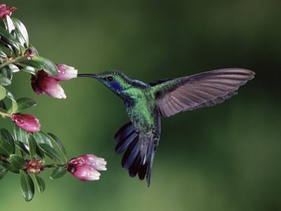 Green Violet-Ear (Colibri Thalassinus) Hummingbird, Heath (Cavendishia Capitulata), Costa Rica by Michael and Patricia Fogden/Minden Pictures