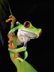 Misfit Leaf Frog (Agalychnis Saltator) on Leaf, Close-Up, Rainforest, Costa Rica by Michael and Patricia Fogden/Minden Pictures