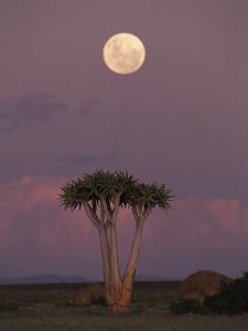 Quiver Tree or Kokerboom (Aloe Dichotoma) at Dusk, Kokerboom Reserve, Keetmanshoop, Namibia by Michael and Patricia Fogden/Minden Pictures