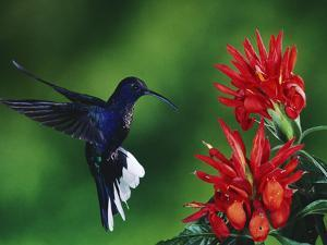 Violet Sabre-Wing Hummingbird (CampylopterusHemileucurus), Zebra Plant (AphelandraSp.), Costa Rica by Michael and Patricia Fogden/Minden Pictures