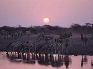 Zebra (Equus Burchellii) at Waterhole During Sunset, Etosha National Park, Namibia by Michael and Patricia Fogden/Minden Pictures