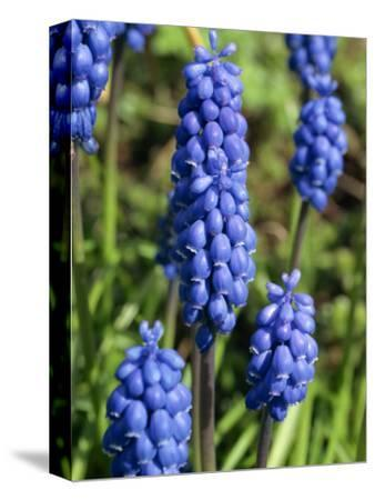 Close-Up of Grape Hyacinth Flowers, Taken in April, in Devon, England