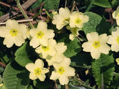 Primroses, During March, Devon, England
