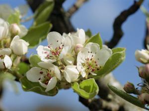 Wild Pear Tree Blossom by Michael Black