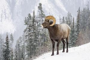 Bighorn in Snow by Michael Blanchette