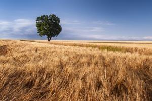 Lone Tree In Wheat Field by Michael Blanchette Photography