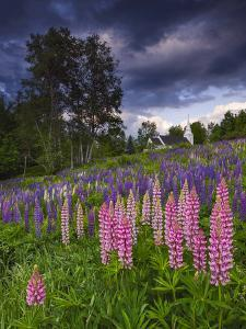 Lupines on the Hill by Michael Blanchette Photography